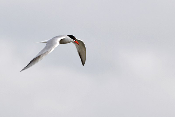 Magnificent Migrations - Arctic Tern
