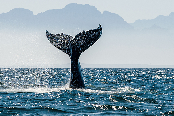Magnificent Migrations - Whales